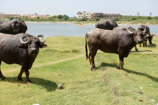 cows on the shore of Kilkattallai Lake