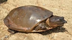 flapshell turtle