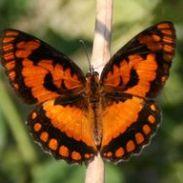Joker Butterfly