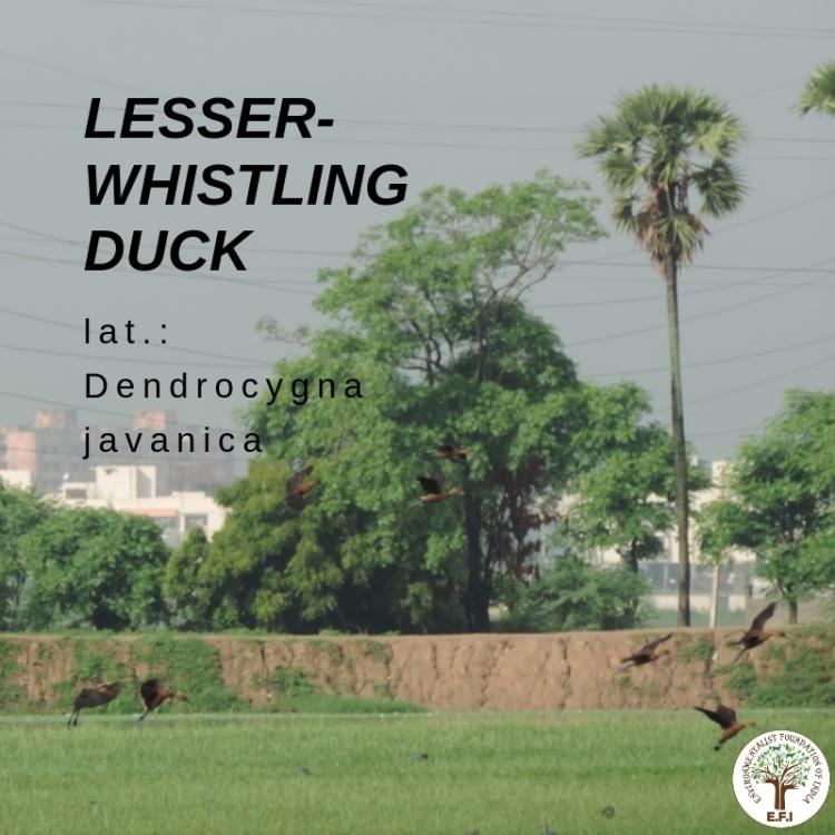 Lesser-whistling duck