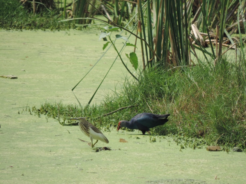 Pond heron & Moorhen